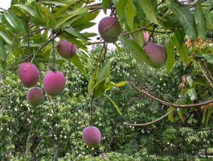 Mangoes in Hawaii